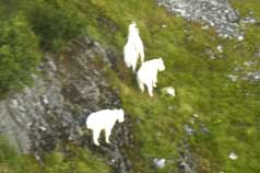 Three billy goats at high altitude